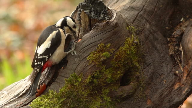 great spotted woodpecker (dendrocopos major) adult female on a tree - woodpecker stock videos & royalty-free footage