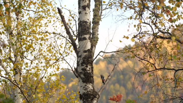 great spotted woodpecker (dendrocopos major) - altai nature reserve - woodpecker stock videos & royalty-free footage