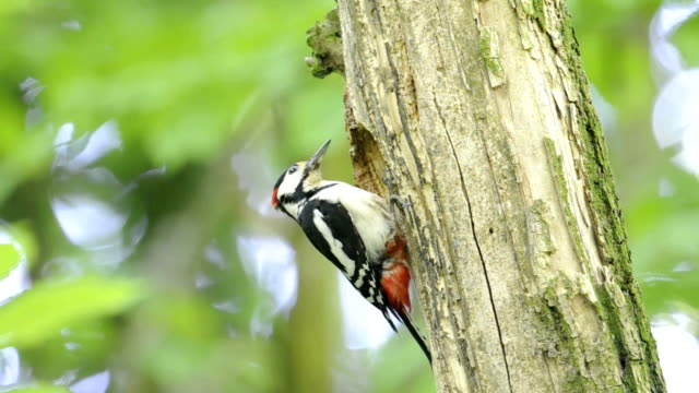 great spotted woodpecker at nest - woodpecker stock videos & royalty-free footage