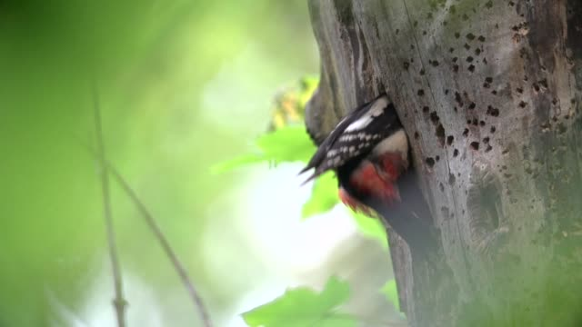 Great spotted woodpecker (Dendrocopos major) builds nest in tree hollow
