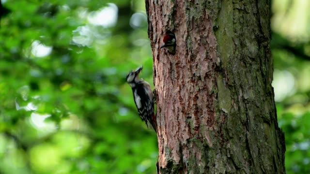 great spotted woodpecker, dendrocopos major, feeding a chick - bird's nest stock videos and b-roll footage