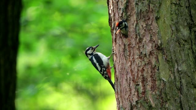 great spotted woodpecker, dendrocopos major, feeding a chick - woodpecker stock videos & royalty-free footage