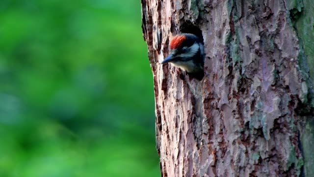 great spotted woodpecker, dendrocopos major, young looking out hole - woodpecker stock videos & royalty-free footage