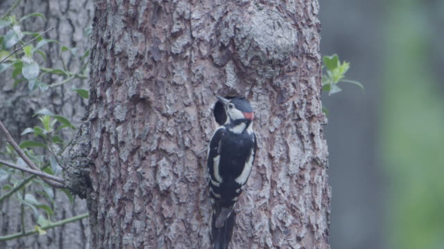 great spotted woodpecker (dendrocopos major) feeding its young in nest from tree trunk. new forest - animal mouth stock videos & royalty-free footage