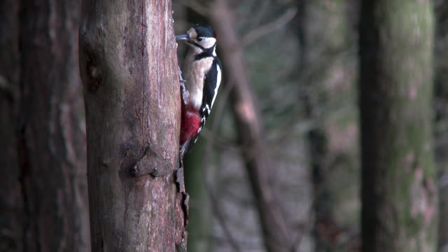 great spotted woodpecker feeding on the side of a tree in scottish woodland - woodpecker stock videos & royalty-free footage