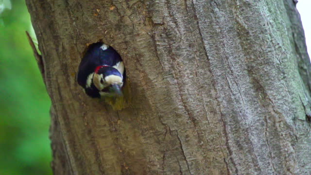 a great spotted woodpecker flying away from its nest - バードウォッチング点の映像素材/bロール