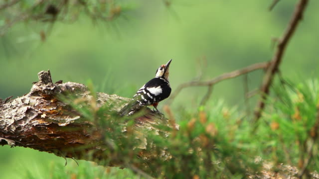 great spotted woodpecker flying from the branch in uljin geumgang pine forest / uljin-gun, gyeongsangbuk-do, south korea - woodpecker stock videos & royalty-free footage