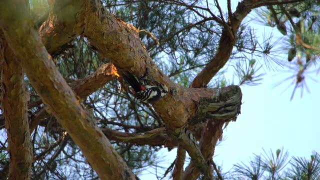 vídeos y material grabado en eventos de stock de great spotted woodpecker flying to the nest with food in uljin geumgang pine forest / uljin-gun, gyeongsangbuk-do, south korea - aguja parte de planta