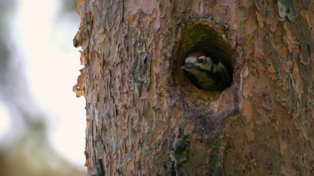 great spotted woodpecker in the nest at uljin geumgang pine forest / uljin-gun, gyeongsangbuk-do, south korea - woodpecker stock videos & royalty-free footage
