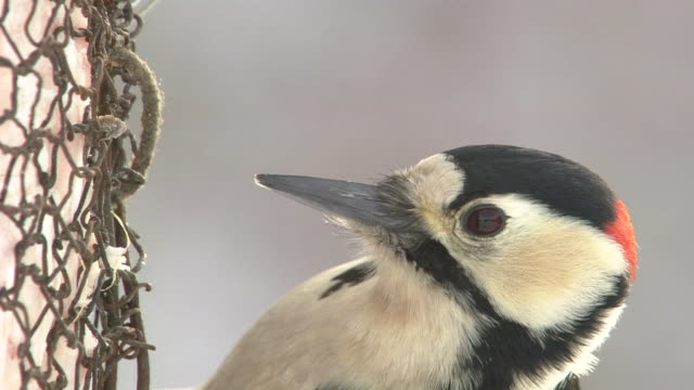 great spotted woodpecker pecking at meat or poultry - woodpecker stock videos & royalty-free footage