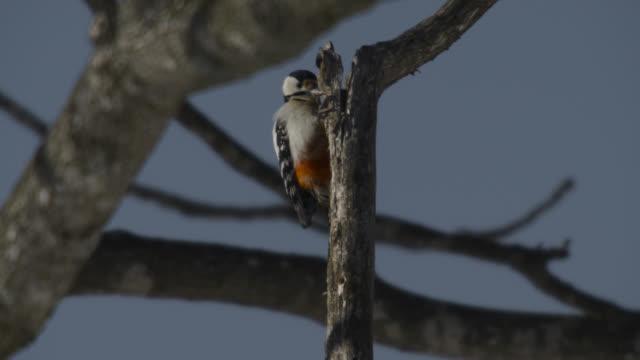 great spotted woodpecker (dendrocopos major) pecks at rotting tree branch. japan. - 枝点の映像素材/bロール