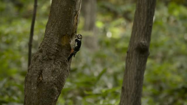 great spotted woodpecker pecks tree, hokkaido, japan. - woodpecker stock videos & royalty-free footage