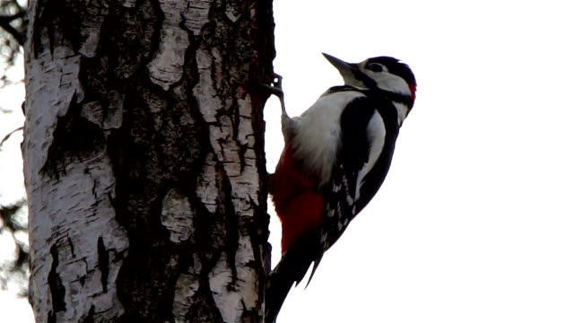 great spotted woodpecker - claw stock videos & royalty-free footage