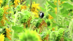 Great tit bird at field of sunflower searching seeds