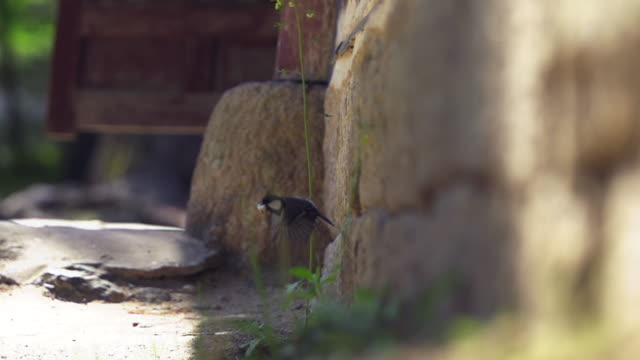 great tit bird moving out of its nest in wall - bird's nest stock videos & royalty-free footage