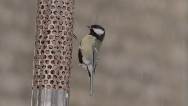 """great tit (parus major) feeds from bird feeder as snow falls, oxfordshire, england - """"bbc natural history"""" stock videos & royalty-free footage"""