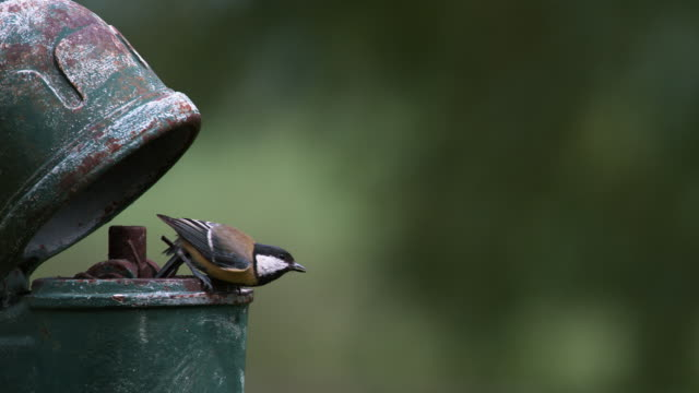 Great Tit, parus major, Adult in Flight, Feeding Chicks at Nest (standing in old Pump), Normandy, Slow motion