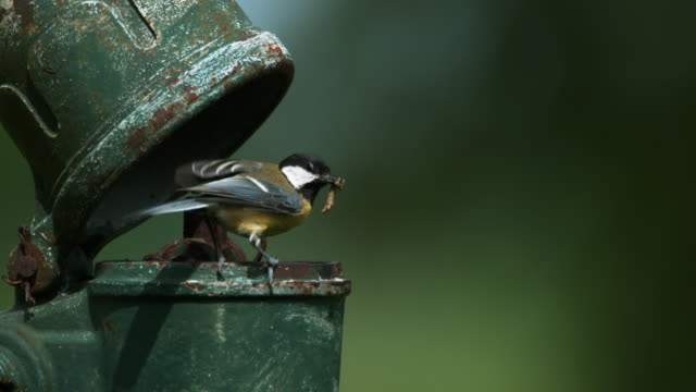 Great Tit, parus major, Adult in Flight, Feeding Chicks at Nest (standing in old Pump), Normandy, Real Time 4k