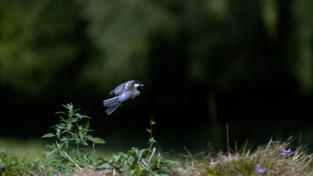 Great Tit, parus major, Adult in Flight, Taking off from Ground, Normandy, Slow motion 4K