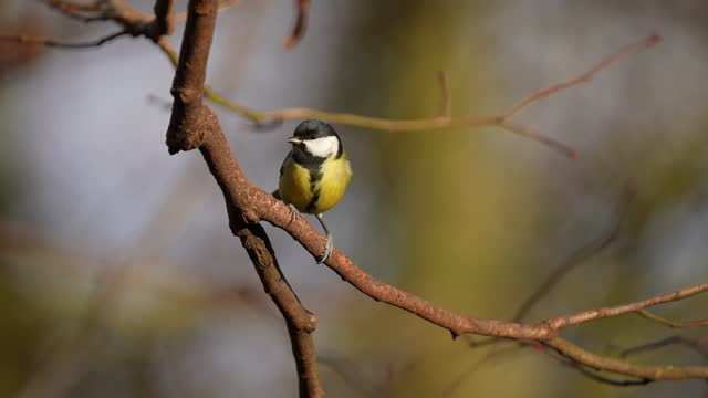 great tit, parus major, in winter - limb body part stock videos & royalty-free footage