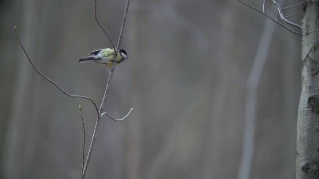 シジュウカラ (四十雀) の飛行を取る - 飛び立つ点の映像素材/bロール