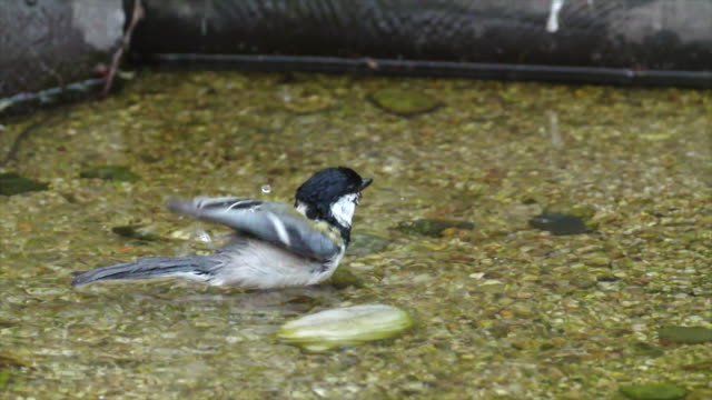 great tit (parus major) taking a bath - walking in water stock videos & royalty-free footage