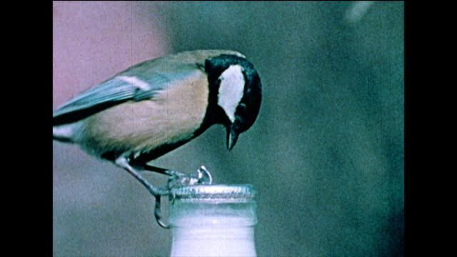 great tit tears through a milk bottle top; 1978 - claw stock videos & royalty-free footage