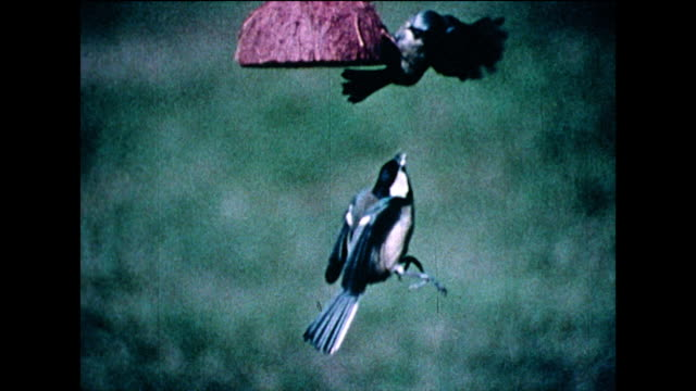 great tits argue on coconut bird feeder; 1978 - bbc archive stock-videos und b-roll-filmmaterial
