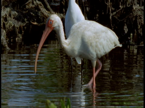 A great white egret and American white ibis scavenge for food among mangrove roots in the Everglades.