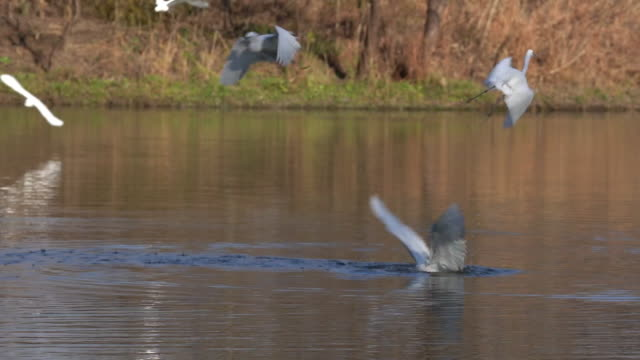great white egret birds close-up profile view flying over water with spread wings with a water background - great egret stock videos & royalty-free footage