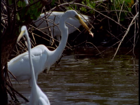 a great white egret catches and eats a fish in the everglades. - great egret stock videos and b-roll footage