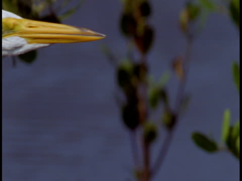 a great white egret cranes its neck and looks around in the everglades. - great egret stock videos and b-roll footage