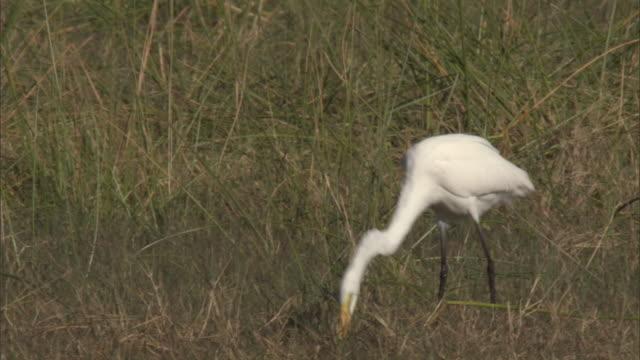 vídeos de stock e filmes b-roll de a great white egret eats a fish as it walks through a marsh near a grazing lechwe. - garça branca grande garça branca