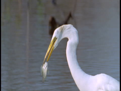 a great white egret eats a fish in the everglades. - great egret stock videos & royalty-free footage