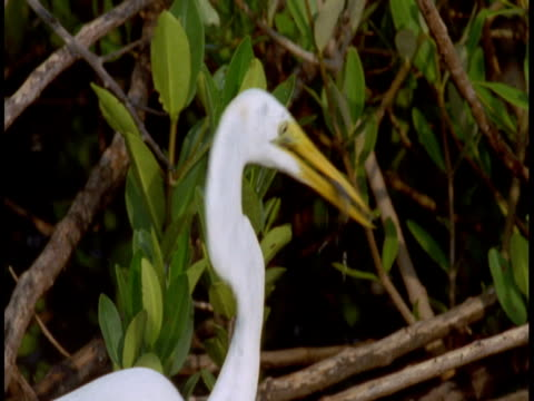 a great white egret fishes and feeds on a fish in the everglades. - great egret stock videos & royalty-free footage