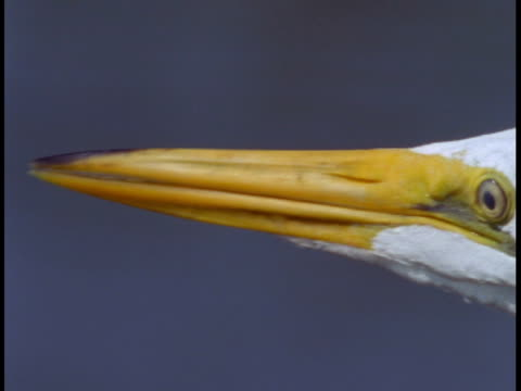 a great white egret looks around in the everglades. - great egret stock videos and b-roll footage