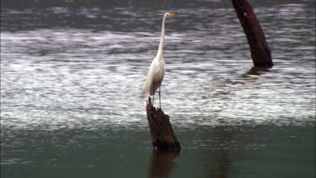 vídeos y material grabado en eventos de stock de ms, tu, great white egret (ardea alba) perching on tree stump in water, mexico - great egret