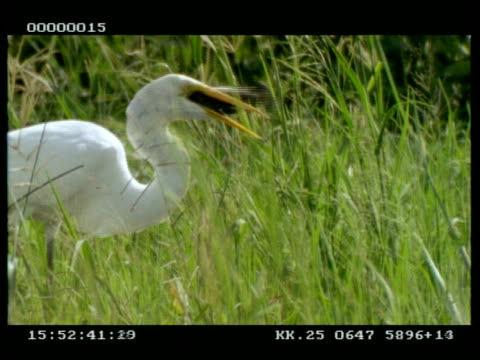 ms great white egret picks up fish and swallows it - oesophagus stock videos & royalty-free footage