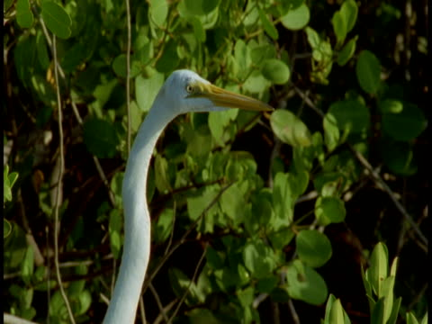 vidéos et rushes de a great white egret stands by a bush and cranes its neck in the everglades. - cou d'animal
