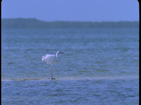 vídeos y material grabado en eventos de stock de a great white egret stands on a narrow sandbar. - great egret