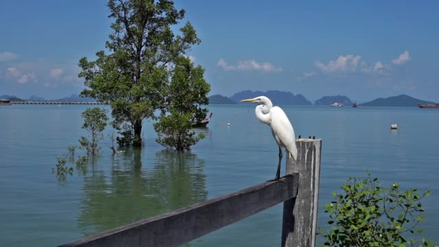 great white egret stork heron (ardea alba) bird on fence - ko lanta stock videos & royalty-free footage