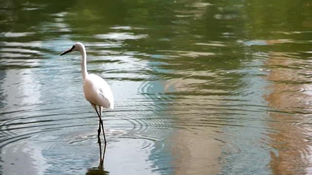 vídeos y material grabado en eventos de stock de great de garceta blanca a - cuello de animal