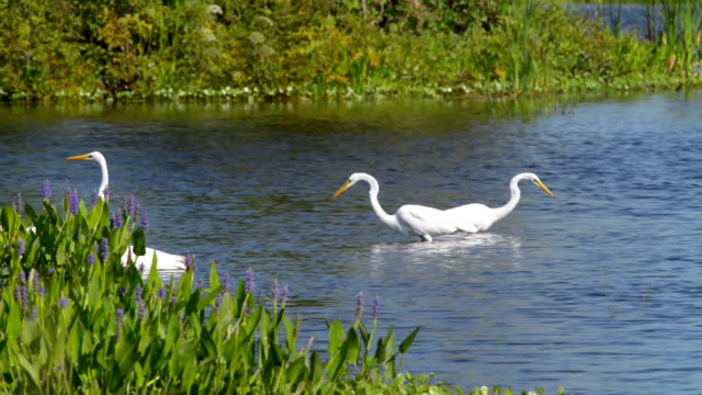 great white egrets - great egret stock videos and b-roll footage