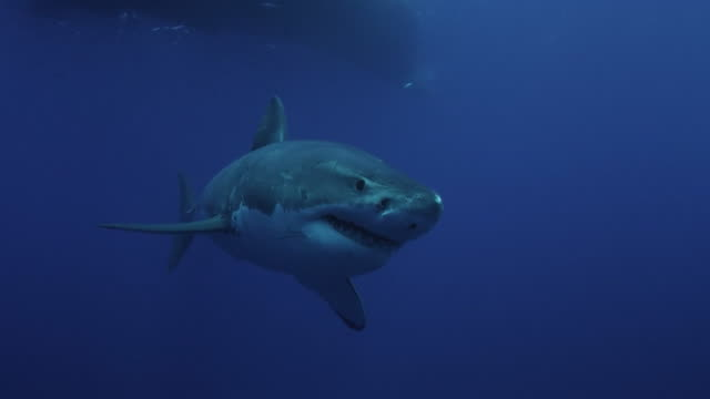 Great White Gracefully swimming in the Deep Blue