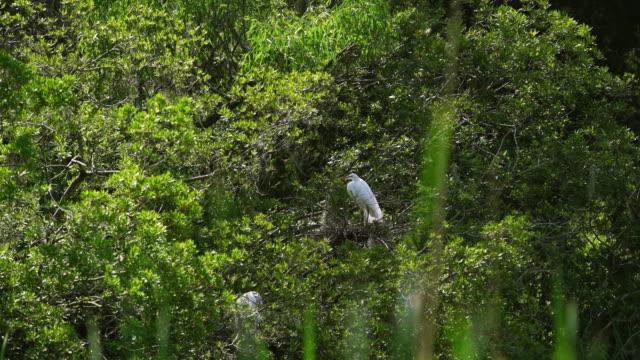 vídeos de stock e filmes b-roll de garça-branca-grande ou garça-branca-grande, ninhos no pântano de ciprestes - garça branca grande garça branca