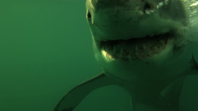 vídeos de stock, filmes e b-roll de great white jaws, close-up  underwater - dente animal