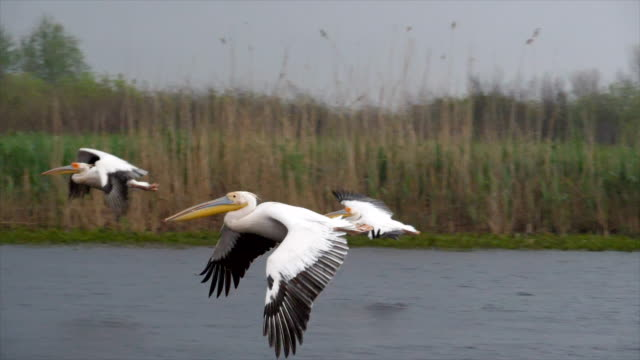 vídeos de stock e filmes b-roll de great white pelican flock in flight, slow motion/ danube delta - pelicano