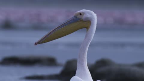 cu tu great white pelican standing in pool - pelican stock videos & royalty-free footage