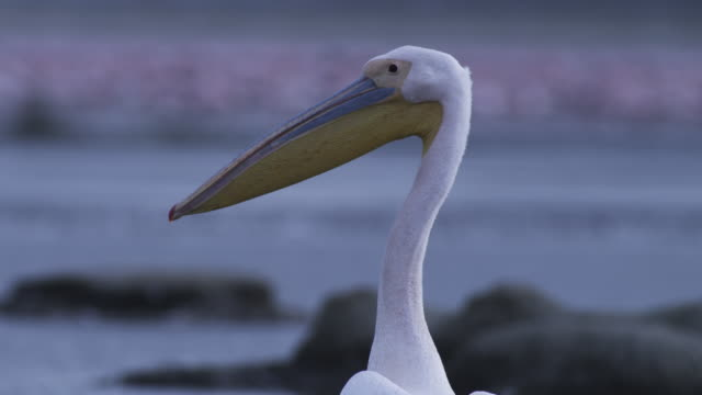 cu tu great white pelican standing in pool - pelican stock videos & royalty-free footage