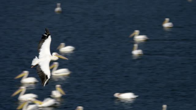 stockvideo's en b-roll-footage met great white pelican  (pelecanus onocrotalus) - vogeljacht